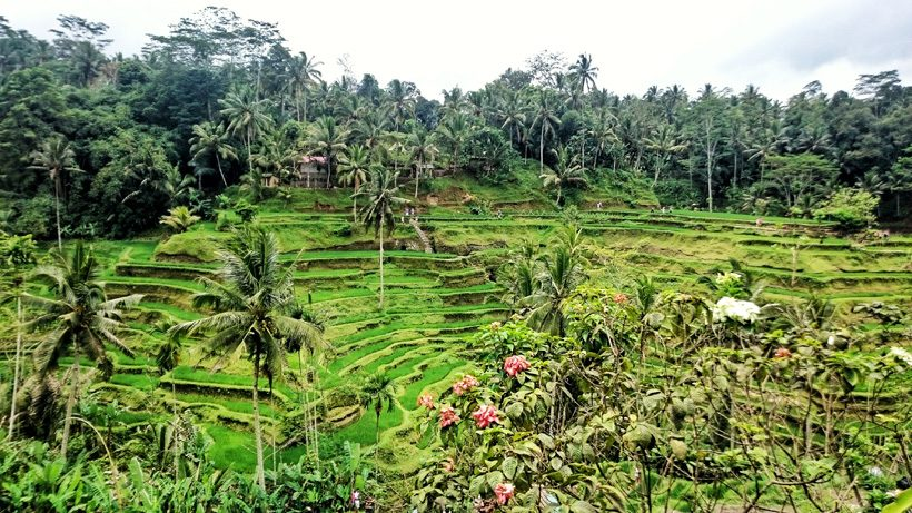 Beautiful rice paddies in bali